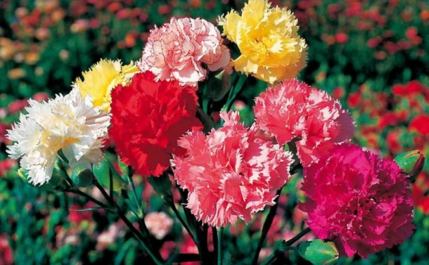 carnation-multic-topgamos-1