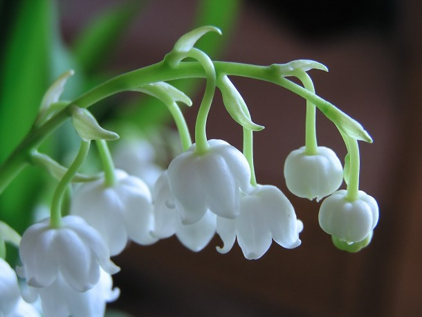 lily-of-the-valley-topgamos-1
